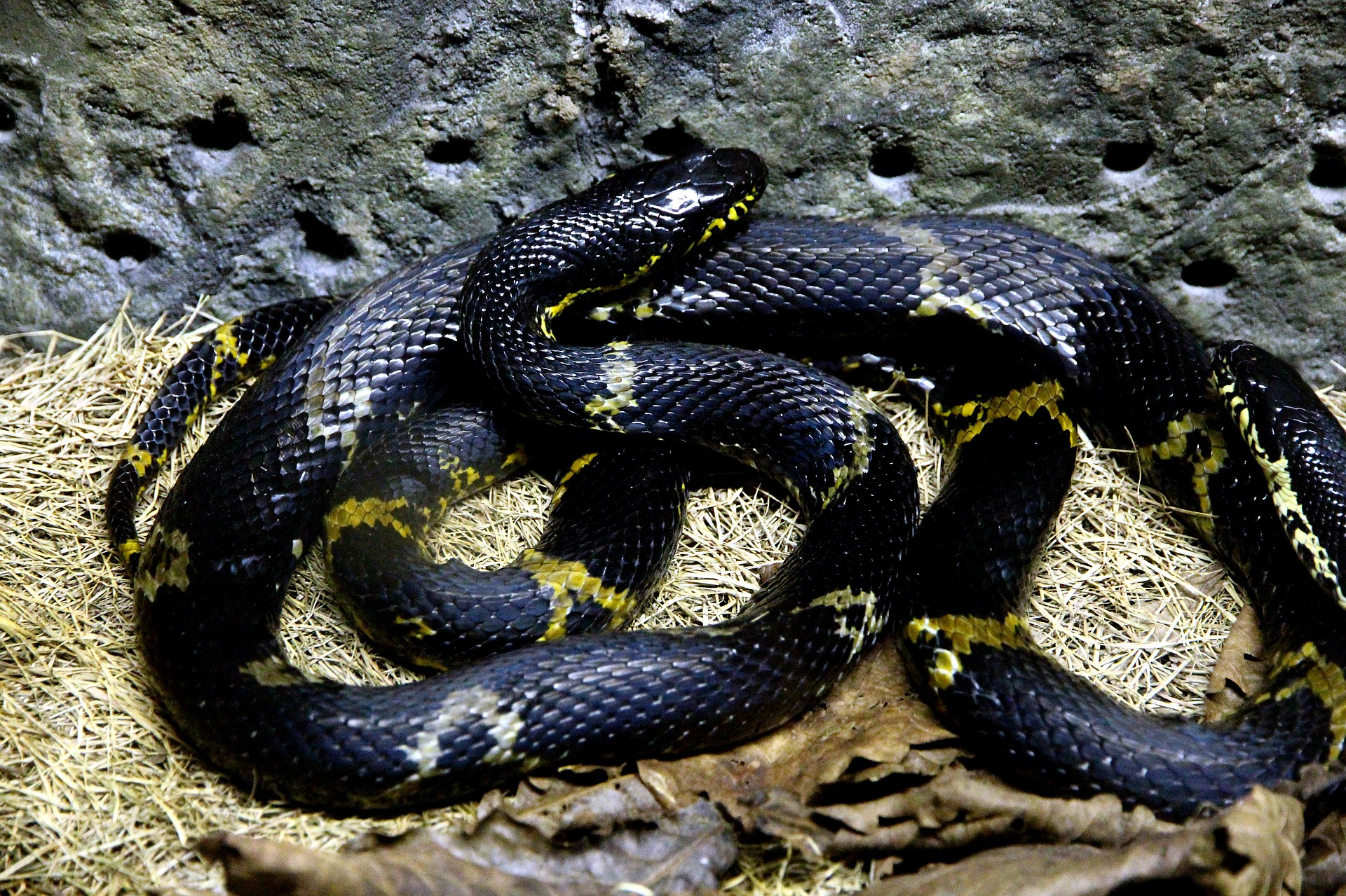 Rat Snake - The Friend Of The Farmers