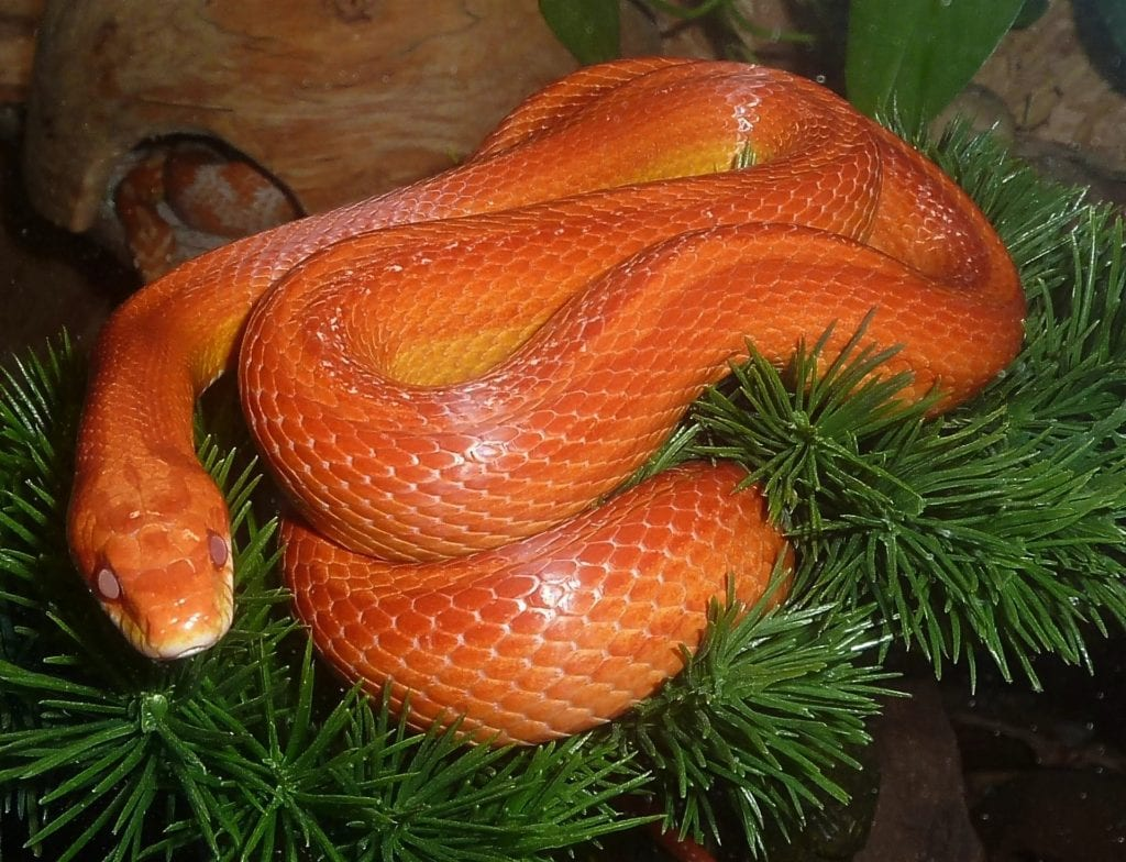 Corn Snakes - Your Go-To Domestic Serpent