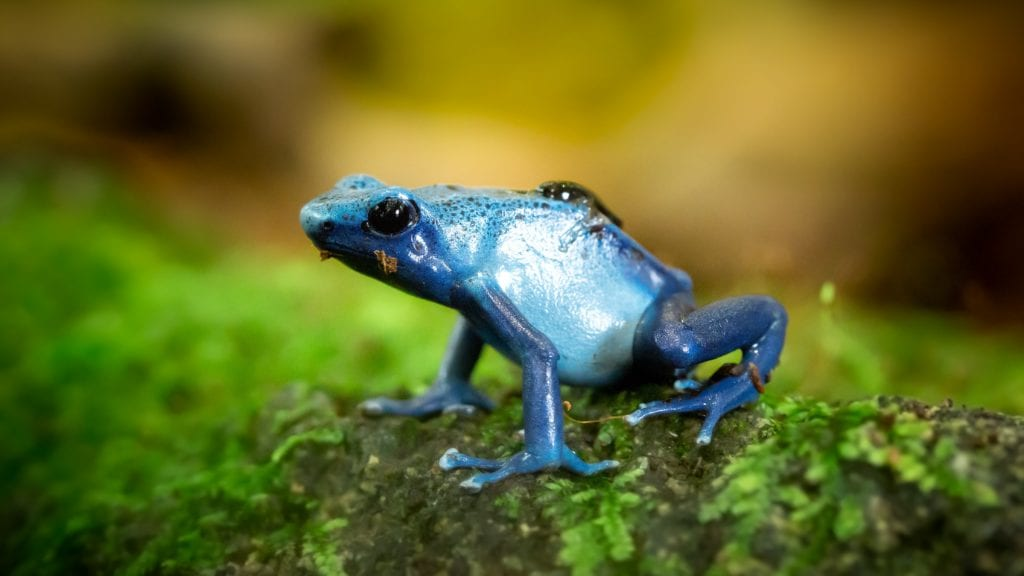 Top 3 Most Poisonous Frogs In World
