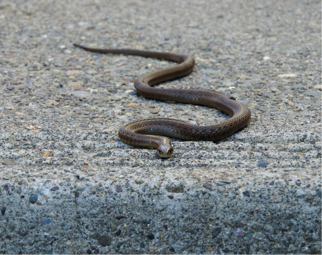 Garter Snake: Come Let's Know About Them A Little