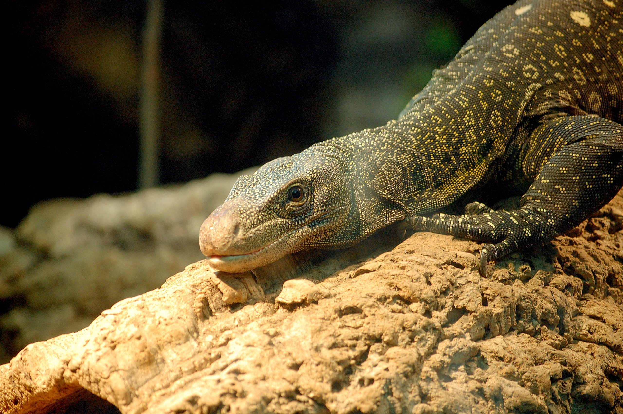 Few Details About Monitor Lizards