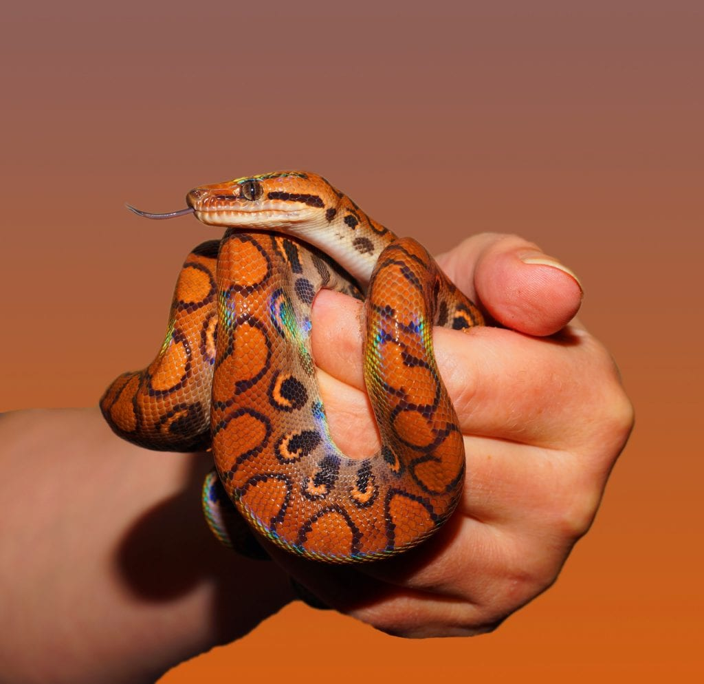 Corn Snakes As Pets - Few Important Tips