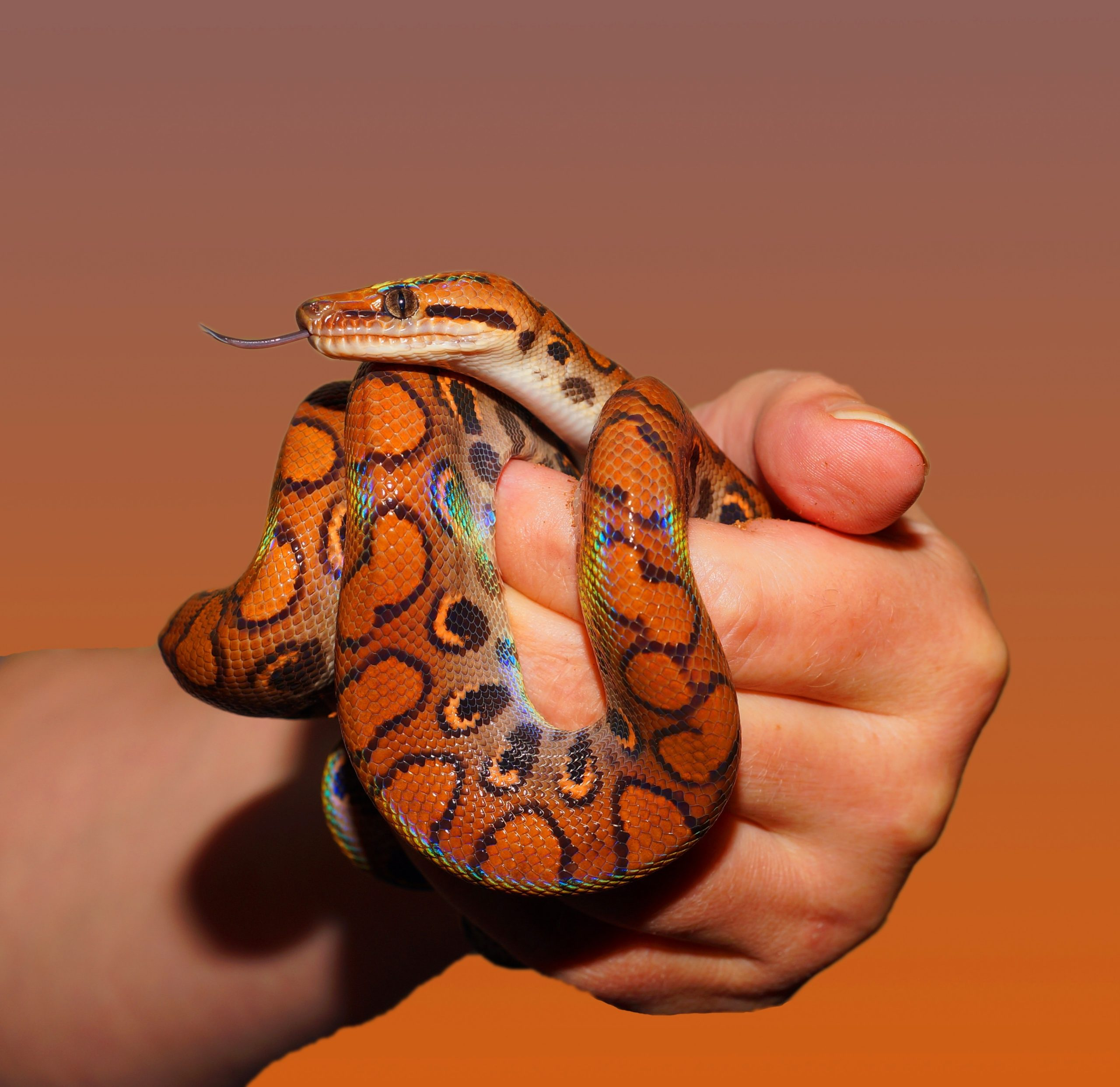Top 3 Snakes For Sale